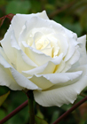 Hybrid Tea Rose by Mrs. Herbert Stevens (4 May 2008) via Wikimedia Commons.