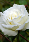 Hybrid Tea Rose by Mrs. Herbert Stevens (4 May 2008) via Wikimedia Commons